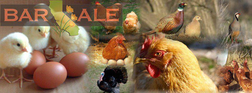Bar Ale Organic Chicken Feed
